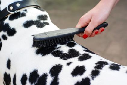 dog dalmation being brushed