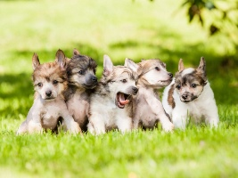 Animals   Dogs Puppies playing on the grass 089097 29 658a5