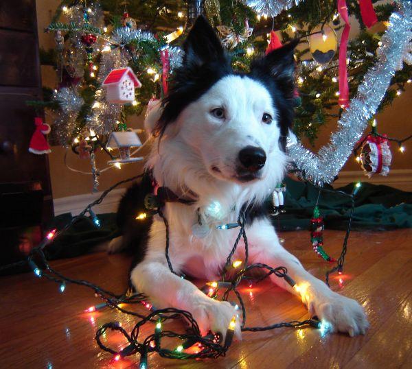 christmas xmas tree dog border collie decoration mischief present ornament 44336