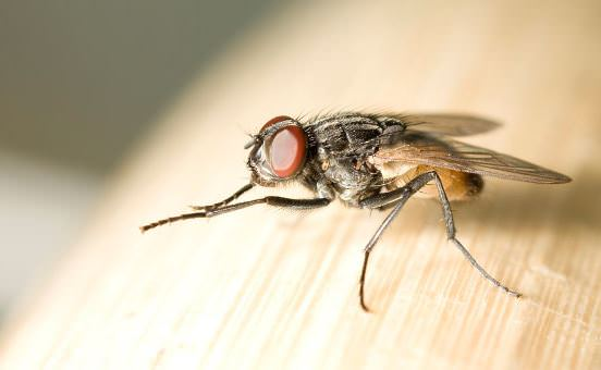 How to Get Rid of Flies at Home 54aa6